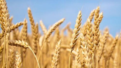 La producción de trigo en Entre Ríos creció un 54%